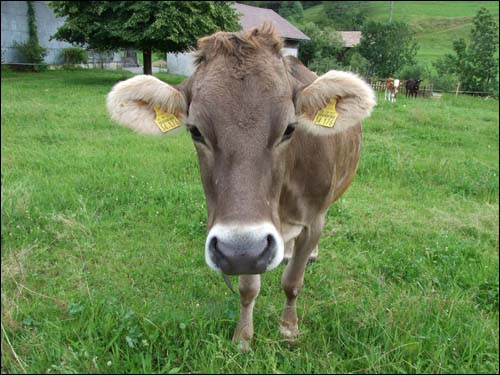 20070626-cow.jpg